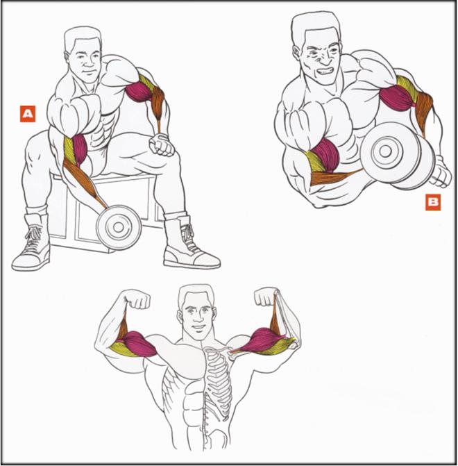Упражнения на бицепсы и предплечья